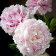 Still-life with peony - Stock Photo