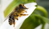 Orange honeybee — Stock Photo