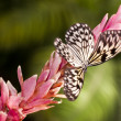 Stock Photo: White butterfly (Idea leuconoe)