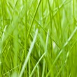 Stock Photo: Spring grass texture