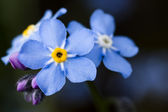 Photo of forget-me-nots on blue backgrou — Stock Photo