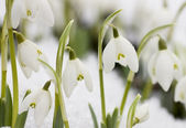 White snowdrops — Stock Photo