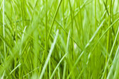 Spring grass texture — Stock Photo