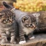 Kittens — Stock Photo #2380593