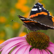 Butterfly ( Latin-Vanessa atalanta ) — Stock Photo #2382107