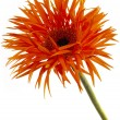 Ruffled gerbera - Stock Photo