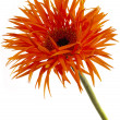 Ruffled gerbera — Stock Photo