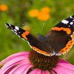 Butterfly ( Latin-Vanessa atalanta ) — Stock Photo
