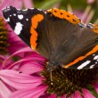 Butterfly ( Latin-Vanessa atalanta ) — Stock Photo #2389983