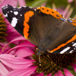 Butterfly ( Latin-Vanessa atalanta ) — Stock Photo