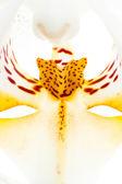 Orchid macro — Stock Photo