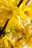 Yellow forsythia flower — Stock Photo