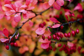 Berberis thunbergii — Stock Photo