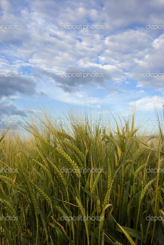 Barley field with spikes in the wind — Stock Photo #2380180