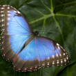 Blue Morpho butterfly — Stock Photo #2390082