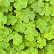Green clover - 