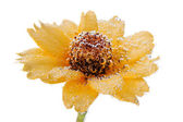 Yellow flower with air bubbles — Stock Photo