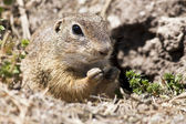 Spermophilus citellus — Stock Photo