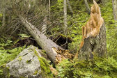 Destroyed tree — Stock Photo