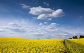 Yellow rape seed field — Stock Photo