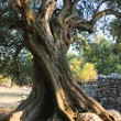 Stock Photo: Old olive tree
