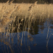 Reed on forest lake on evening sunlight - Stock Photo