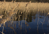 Reed on forest lake on evening sunlight — Stock Photo