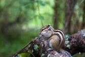 Siberian Chipmunk at breakfast #2 — Stock Photo