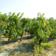 vineyard — Stock Photo #2273190