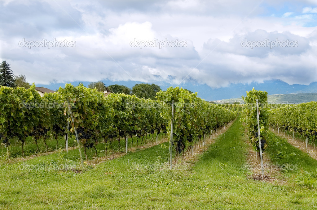 Vineyards — Stock Photo #2273145
