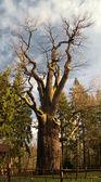 Ancient tree — Stock Photo