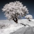 White trees - 