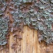 Pine tree trunk texture — Stock Photo