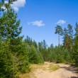 Sandy road in pine tree forest — Stock Photo