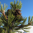 Pine tree branch - Foto de Stock