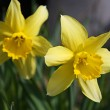 Yellow narcissus flowers — Stock Photo