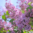 Fragrant lilac bush — Stock Photo #2453925