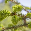 Fir tree branch with buds — ストック写真