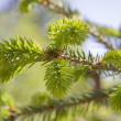 Fir tree branch with buds — Stock Photo