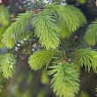 Fir tree buds - Stock Photo