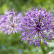 Stock Photo: Allium flower (wild onion)