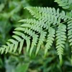Fern leaf — Stock Photo #2454106