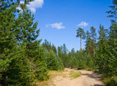 Sandy road in pine tree forest — Stockfoto