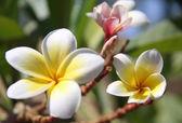 Beautiful tropical flowers — Stock Photo