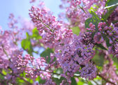Fragrant lilac bush — Stock Photo