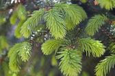 Brotes de árbol de abeto — Foto de Stock