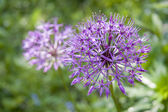 Allium flower (wild onion) — Foto Stock