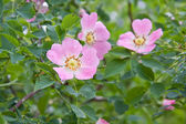 Dog rose Rosa canina flowers — Stockfoto