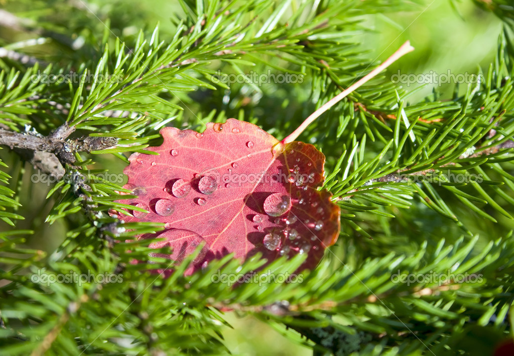Red autumn leaf with water drops — Stock Photo #2453403