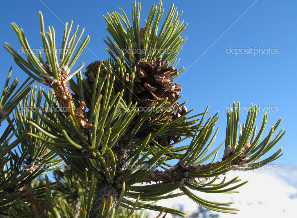 Pine tree branch with cones                — Stock Photo #2453438